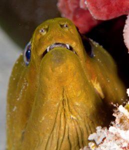 Giant Moray eels