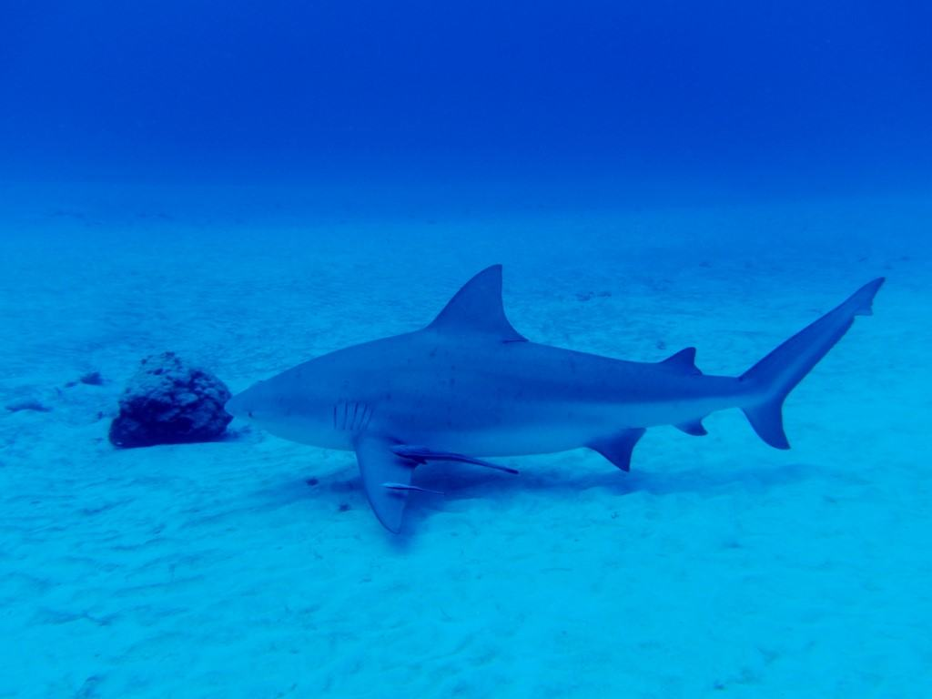 bull shark diving playa del carmen