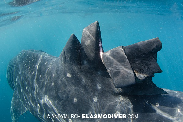 wounded whale shark