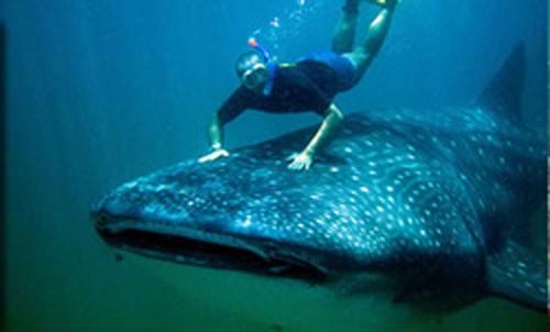 Riding a whale shark